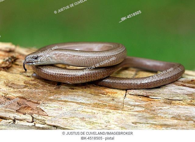 Slow worm (Anguis fragilis) with darting tongue perched on tree trunk, Schleswig-Holstein, Germany
