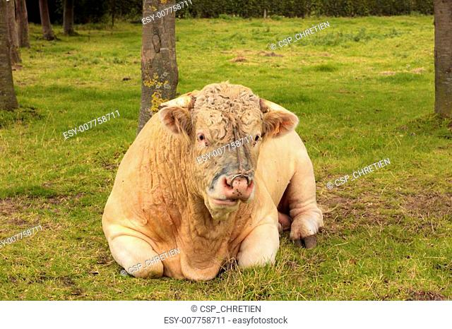 French Charolais bull lying in grass green