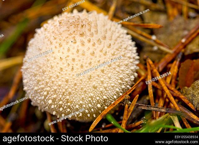 Puffball Mushrooms, Lycoperdon, Valsain Forest, Guadarrama National Park, Segovia, Castilla y León, Spain, Europe