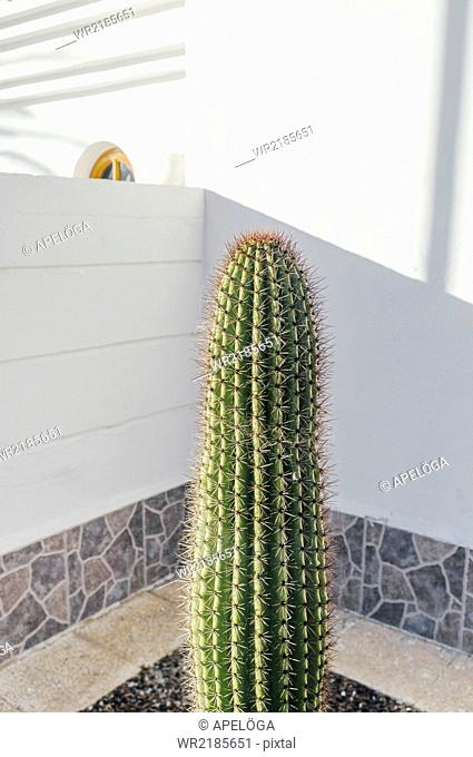 Long cactus in room