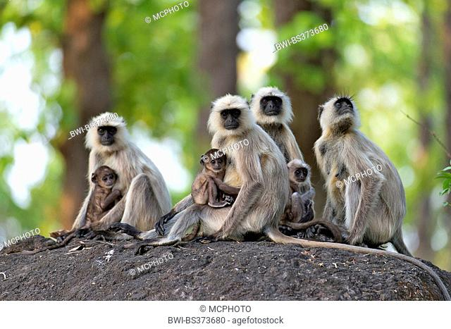 Southern plains gray langur, Gray langur monkey (Semnopithecus dussumieri), females sitting with their young animals on a boulder, India, Kanha National Park