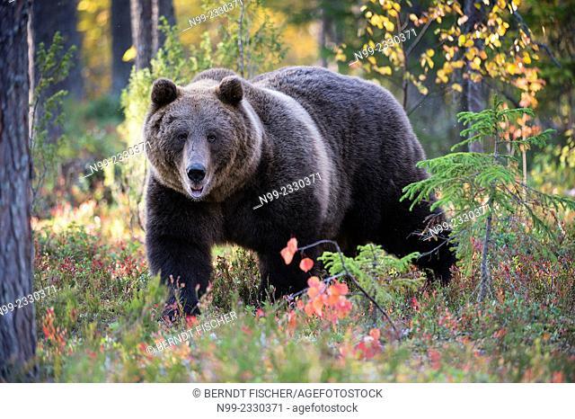 Brown Bear (Ursos arctos), in boreal pinewood in autumn, Finland