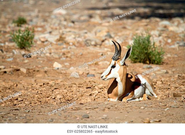 springbok in hoanib