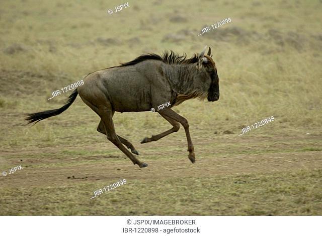 Eastern wildebeest (Connochaetus taurinus albojubatus), adult running, Masai Mara, Kenya, Africa