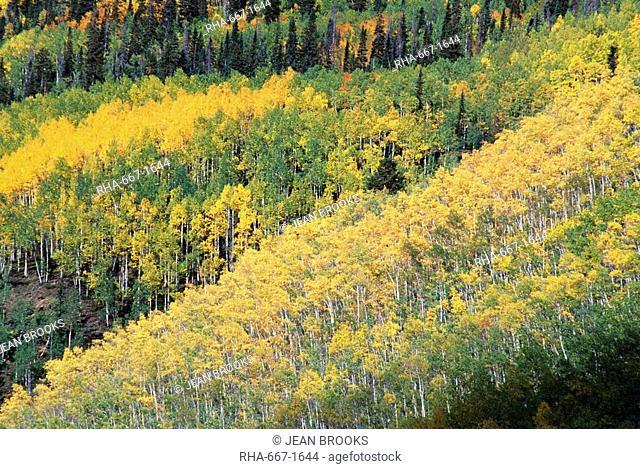 Aspen trees in the fall, San Juan Skyway, Colorado, United States of America U.S.A., North America