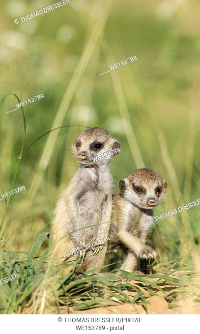 Suricate (Suricata suricatta). Also called Meerkat. Two young. During the rainy season in green surroundings. Kalahari Desert, Kgalagadi Transfrontier Park