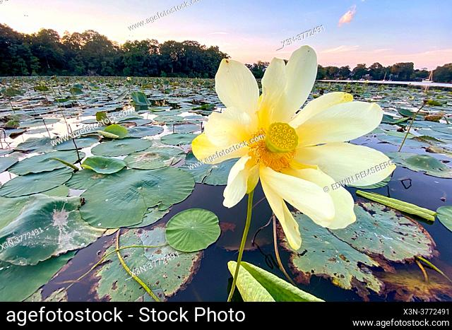 Lotus Flowers on Sassafras River in Maryland