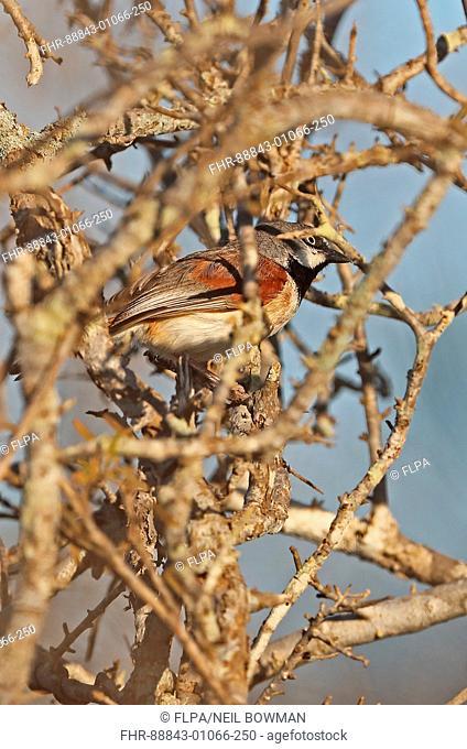 Red-shouldered Vanga (Calicalicus rufocarpalis) adult male in thorn bush, recently described Madagascan endemic La Tabla, Tulear, Madagascar     November
