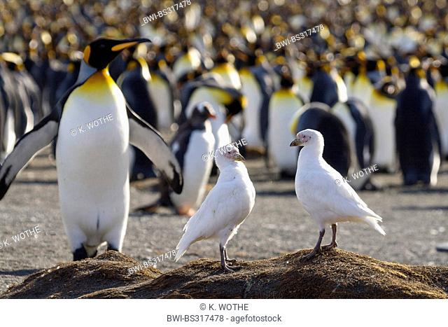 Snowy Sheathbill, Pale-faced sheathbill, Paddy (Chionis alba), two birds at the beach in front of a king penguin colony, Suedgeorgien