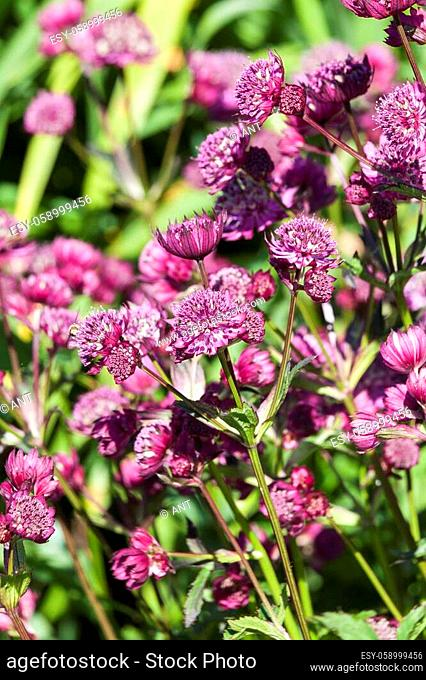 Astrantia major 'Abbey Road' an herbaceous perennial springtime summer flower plant commonly known as great masterwort