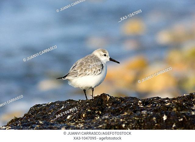 Sanderling Calidris alba, at Cabo de Gata Nijar beach, Andalusia, Spain