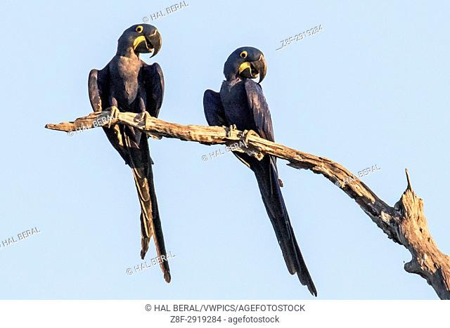 Pair of Hyacinth Macaws (Anodorhynchus hyacinthinus) Pantanal, Brazil