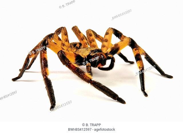 Huntsman spider (Barylestis spec.), cut-out