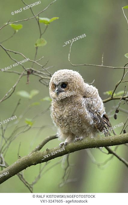 Tawny Owl / Waldkauz (Strix aluco) perched on a branch of an alder, begging for food, wildlife, Germany. .