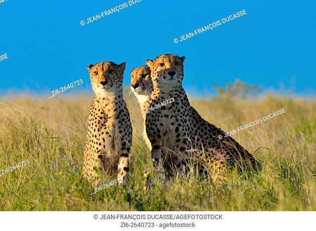 Cheetahs (Acinonyx jubatus), watching the surroundings, in the tall grass, late afternoon, Addo Elephant National Park, Eastern Cape, South Africa, Africa