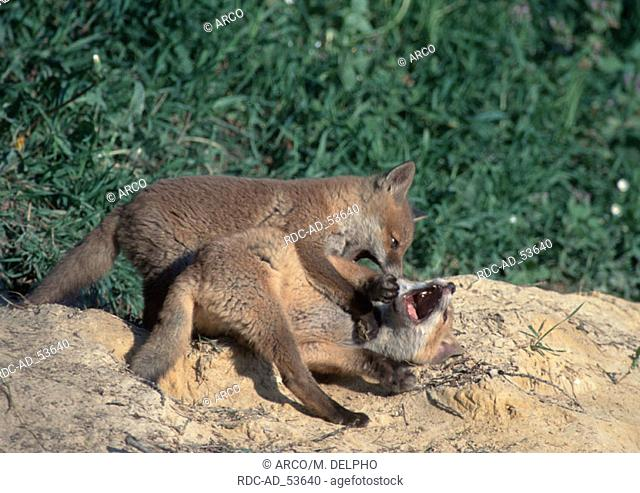 Red Fox cubs Hessen Germany Vulpes vulpes
