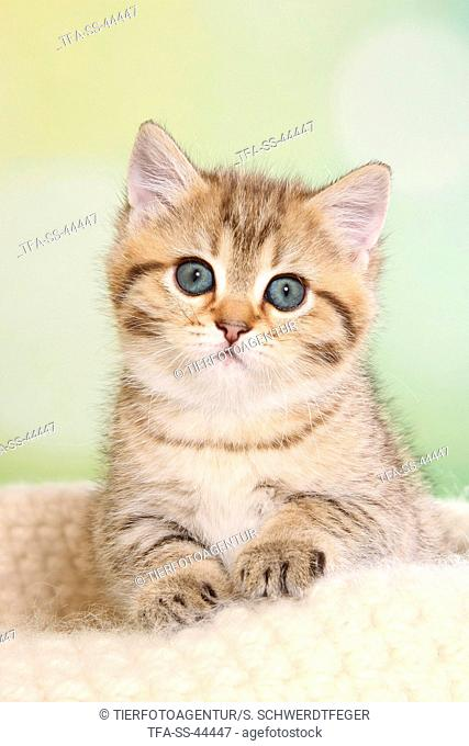 sitting British Shorthair Kitten