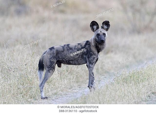 Africa, Southern Africa, Bostwana, Moremi National Park, African wild dog or African hunting dog or African painted dog (Lycaon pictus), one adult