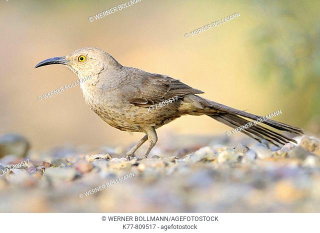Curve-billed Thrasher (Toxostoma curvirostre). Saguaro N.P., Arizona, USA