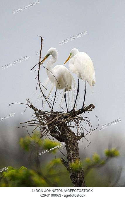 Great egret (Casmerodius albus, Ardea alba, Egretta alba), Smith Oaks Audubon rookery, High Island, Texas, USA
