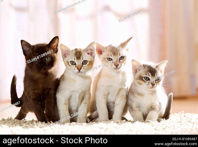 Burmese cat. Four kittens on a carpet an apartment. Germany