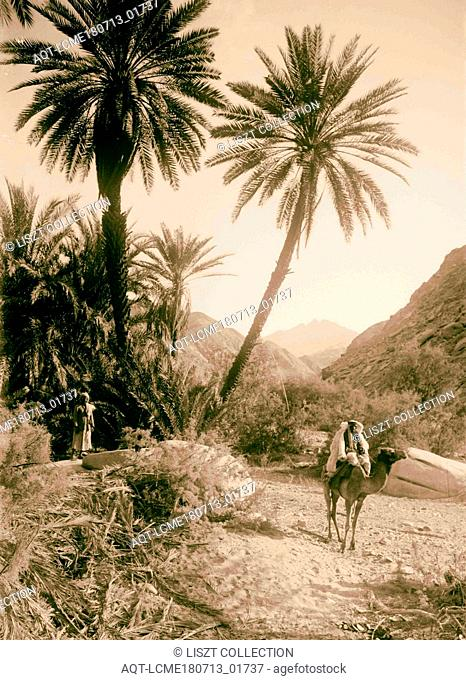 To Sinai via the Red Sea, Tor, and Wady Hebran. Picturesque palm grove in Wady Hebran 1900, Egypt, Sinai