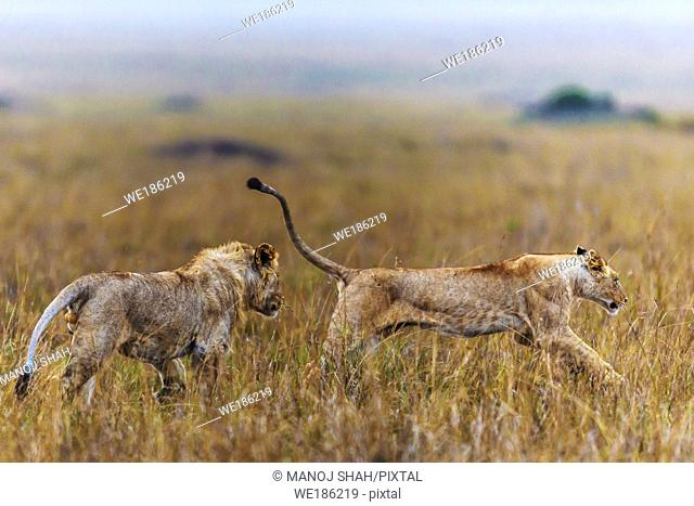 male lion playfully chasing his sister early morning