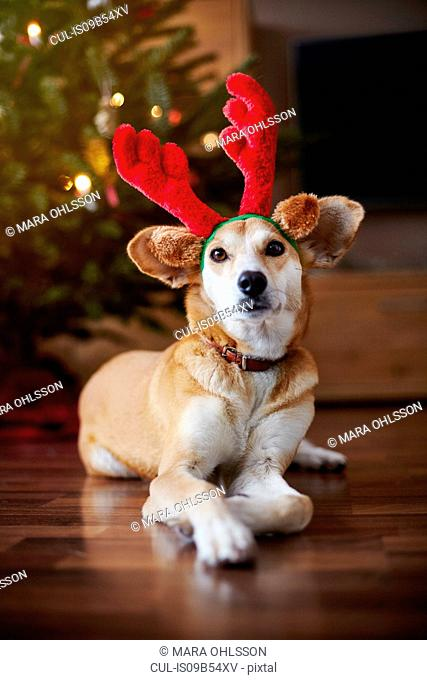 Portrait of dog wearing reindeer ears