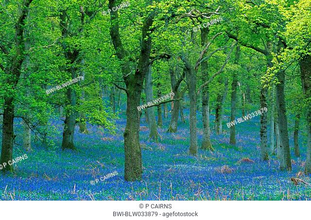 bluebell Hyacinthoides non-scripta, beech woodland, in spring with beeches in fresh foliage, United Kingdom, Scotland, Perthshire
