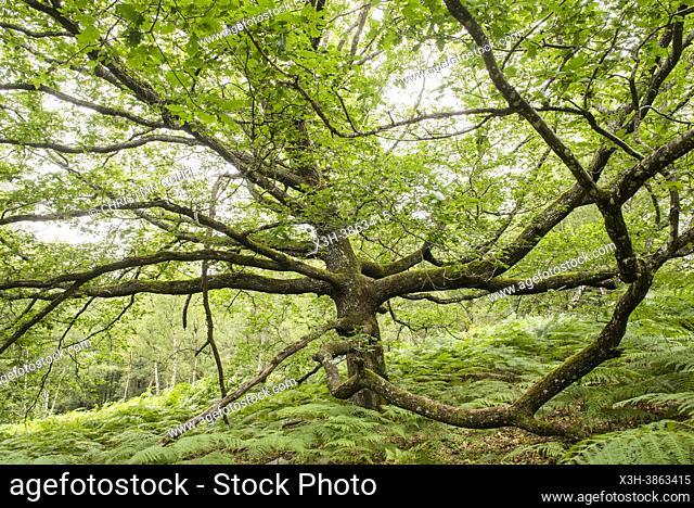 Chene remarquable, Foret de Rambouillet, Parc naturel regional de la Haute Vallee de Chevreuse, Departement des Yvelines, Region Ile de France, France