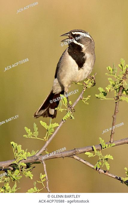 Black-throated Sparrow (Amphispiza bilineata) perched on a branch in southern Arizona, USA