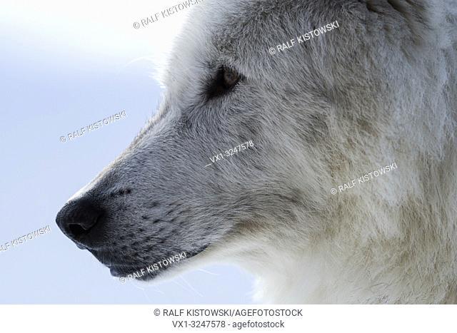 Gray Wolf / Grauwolf (Canis lupus) in winter, close-up, headshot, eyes of a wolf, Yellowstone area, Montana, USA