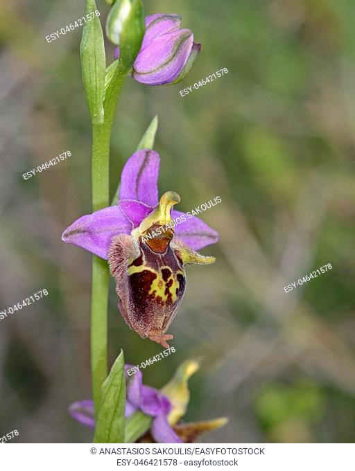 Ophrys heldreichii, Crete