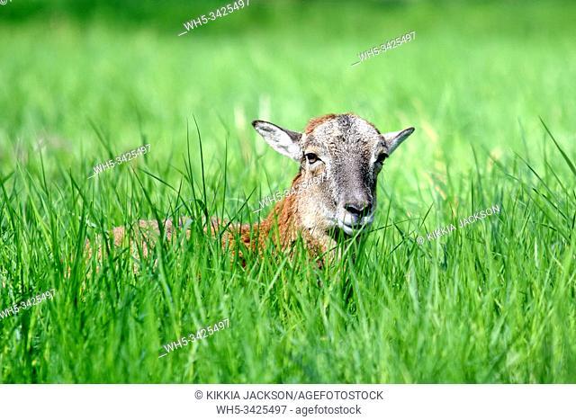 Mouflon Ovis Aries Musimon Lying in Grass, Czech Republic