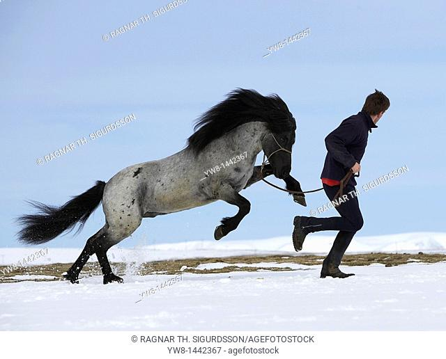 Horse with trainer in winter, Iceland