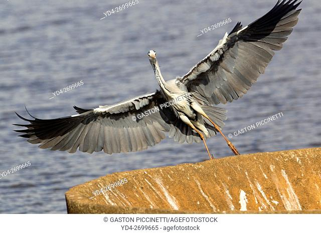 Grey Heron (Ardea cinerea), landing on a rainforced concrete structure, Kruger National Park, South Africa