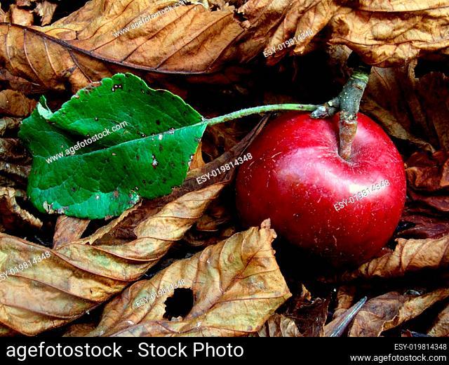 Herbst- Apfel im Laub