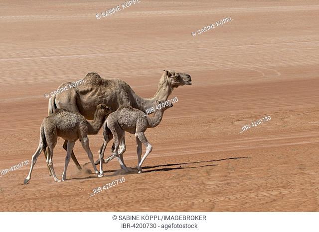 Dromedaries (Camelus dromedarius) in the Wahiba Sands, Oman