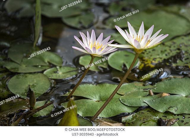 Purple water lilies, Jong's Crocodile Farm, Siburan, Sarawak, Malaysia
