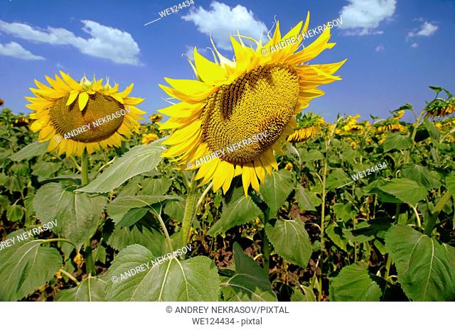 Sunflower (Helianthus annuus), sunflower field, Odessa, Ukraine, Eastern Europe