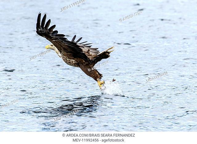 White-Tailed Eagle - fishing - Isle of Mull, Scotland, United Kingdom