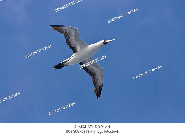 An adult Red-footed booby Sula sula following the National Geographic Endeavour in the tropical South Atlantic Ocean off the coast of Brazil This bird has an...