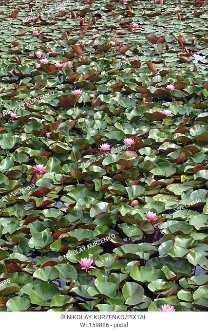 Americal white waterlily (Nymphaeae odorata). Called Fragrant water-lily, Beaver root, Sweet-scented white water lily also