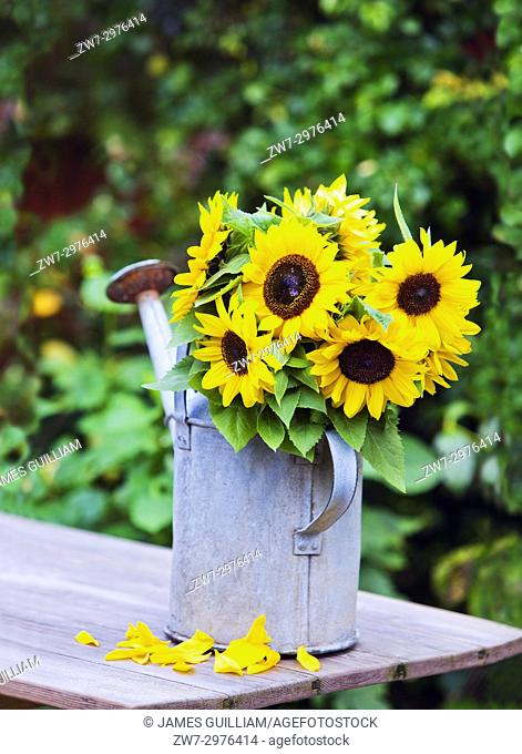 Sunflowers in weathered vintage watering can on wooden table outdoors