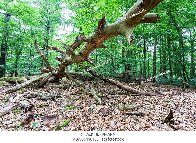 Rotted trees in deciduous forest, Triebtal, Vogtland, Saxony, Germany