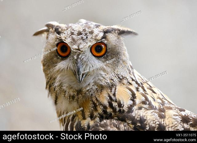 Eagle Owl ( Bubo bubo ), Eurasian Eagle-Owl, also called Northern Eagle Owl or European Eagle-Owl, adult, detailed headshot, frontal view, Europe.