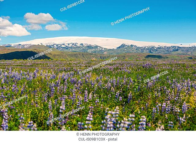 Field of Lupines, Glacier Myrdalsjokull in background, South Iceland