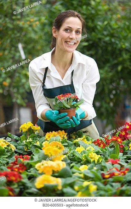 Gardener. Flowerpots with pansies, Garden, Tree nursery. Gipuzkoa, Euskadi. Spain
