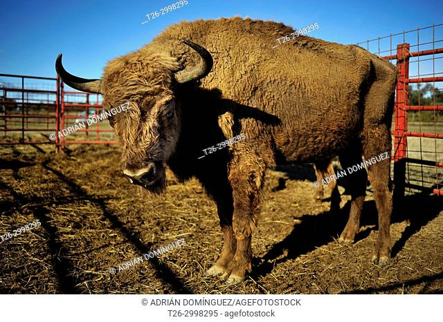 Restoring European Bison species in Spain