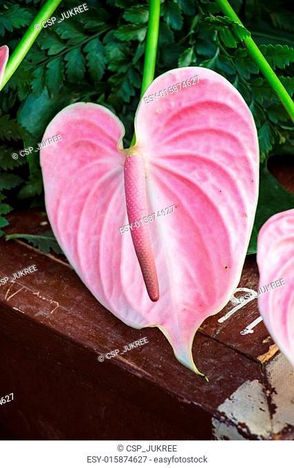 Pink anthurium flower